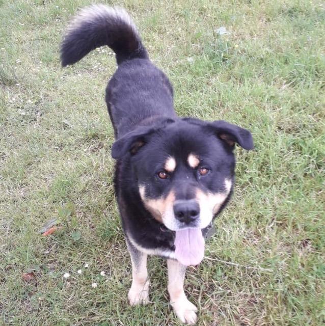 Our Boy Bruno! | Rottweiler/Husky Cross